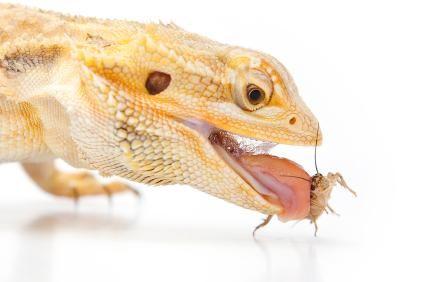 comer Dragão farpado