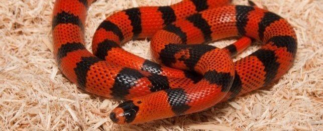 Escolhendo uma serpente de leite hondurenha