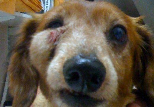 Um cão com pus em uma área facial por causa de uma auto doença de pele imunológico.