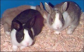 Coelhos holandeses, conhecidos como coelhos holandeses em Holland!