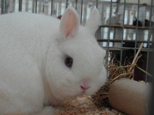 coelho anão de olhos azuis branco Netherland