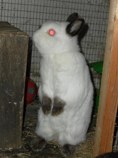 Um coelho anão` title=