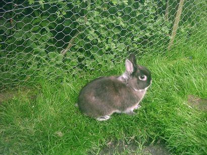 Seu coelho anão vai gostar de ter acesso a uma área gramada seguro ou correr.