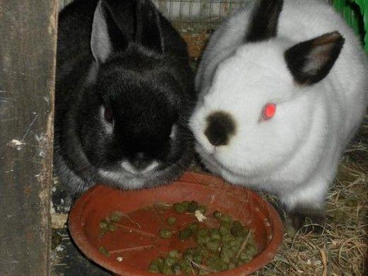 A maioria dos coelhos gostam de ter companhia de sua própria espécie.