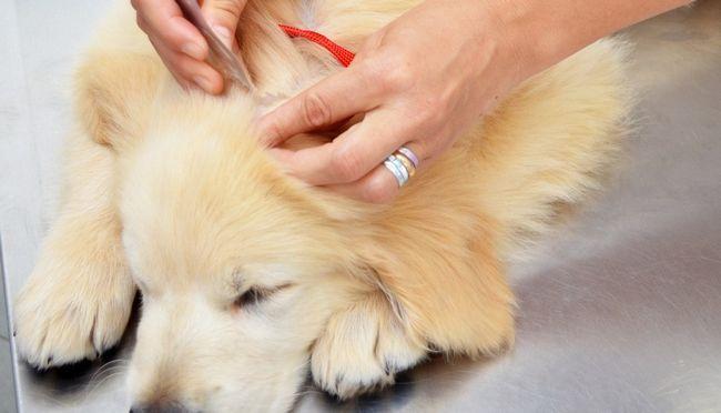 cão recebendo medicina da pulga