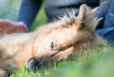 Cão na grama queda está em risco de carrapatos