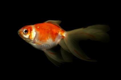 Cores Goldfish