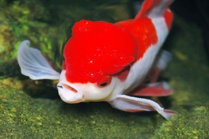 Ick Goldfish