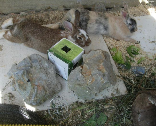 Como Cuidar do seu coelho anão durante o tempo quente