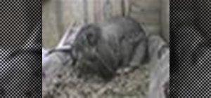 Treinar um coelho para usar uma caixa de areia