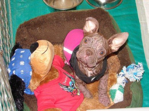 Nesse mesmo cachorro terrier Boston após várias semanas de tratamento.