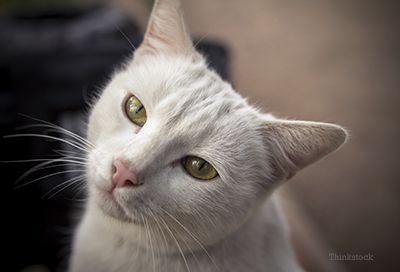 Gato branco que olha para a câmera