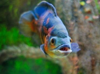 Cuidado dos peixes Oscar