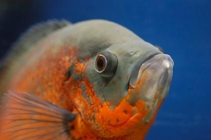 close up de Oscar peixe