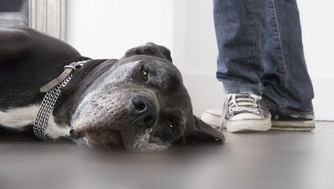 Cão deitado no chão, homem de pé no fundo, baixo seção