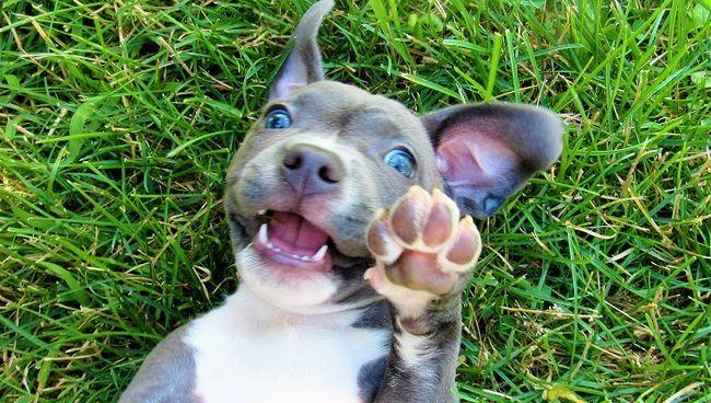 Eu tomei esta imagem em meu quintal em Columbus, Ohio da nossa bela, doce, brincalhão pitbull chamada Mia.
