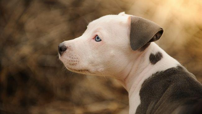 cão Pit Bull Terrier americano, filhote de pitbull com forma do coração marca no pescoço