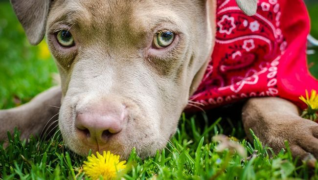 filhote de cachorro pit bull comendo uma flor na grama