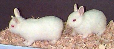 Imagem de bebês coelho polonês!