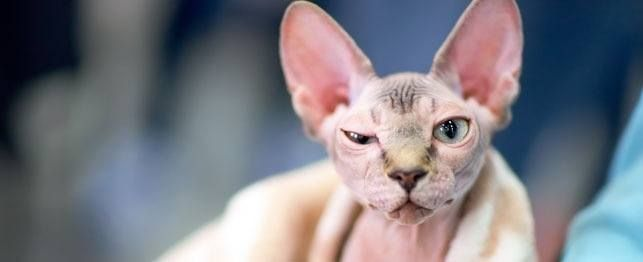 O magro em condições de pele de gato