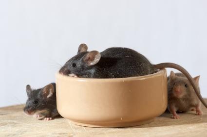 Ratos verificando a sua prato de comida