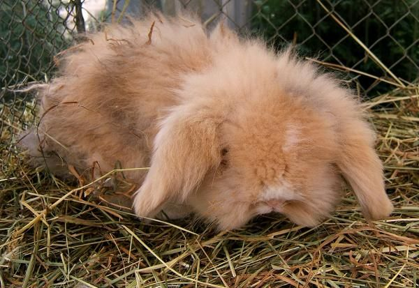 O que é um coelho do Belier
