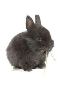 O que é um coelho anão